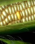 corn1-1