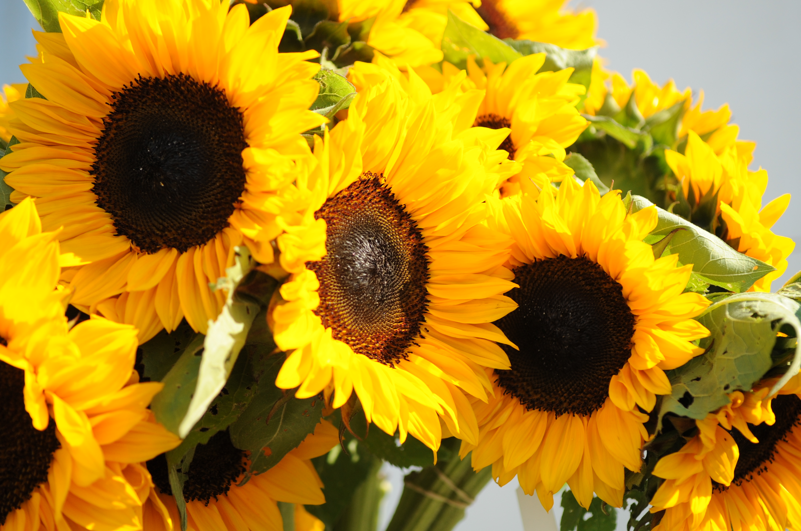 Our own sunflowers