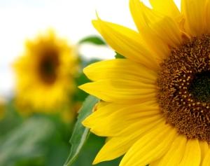 sunflowers_half